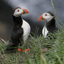 Puffins at Dunnottar Castle June 17th, 2005