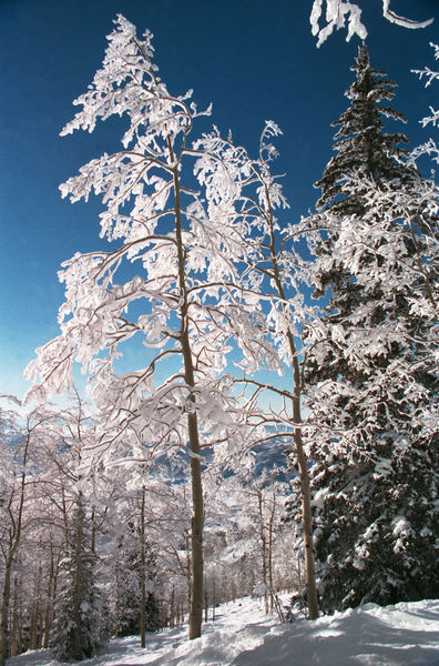 steamboat trees.jpg