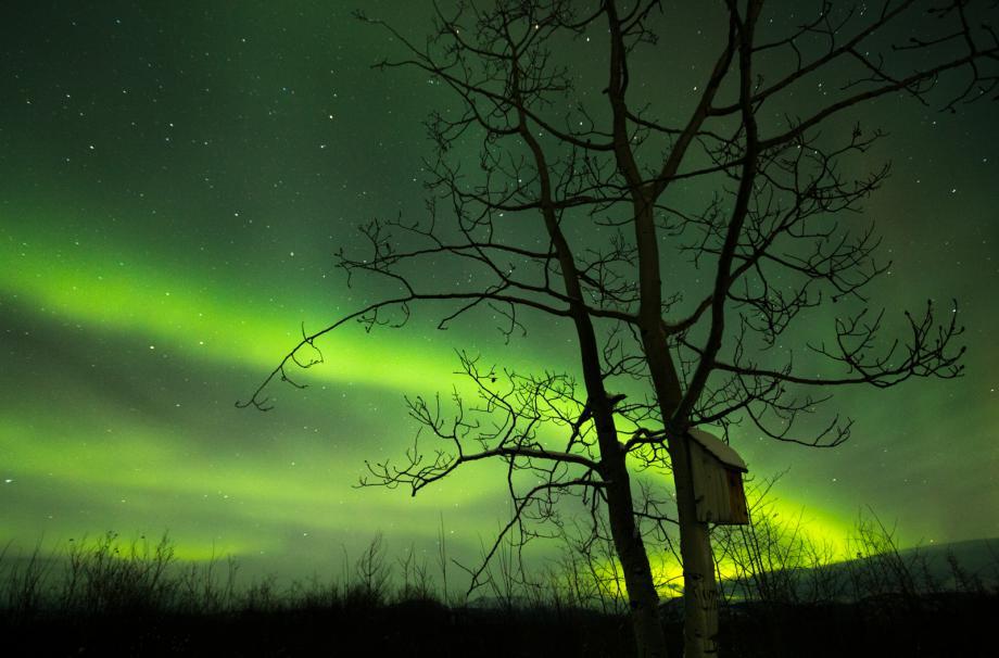 Yukon Aurora over Poplar Tree